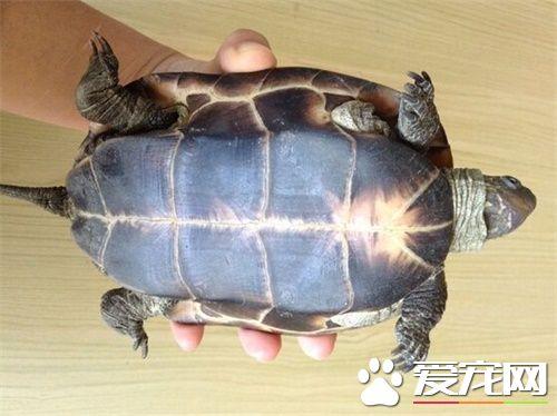 中华草龟种类 购买中华草龟的注意事项